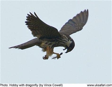 hobbies falco subbuteo uk safari
