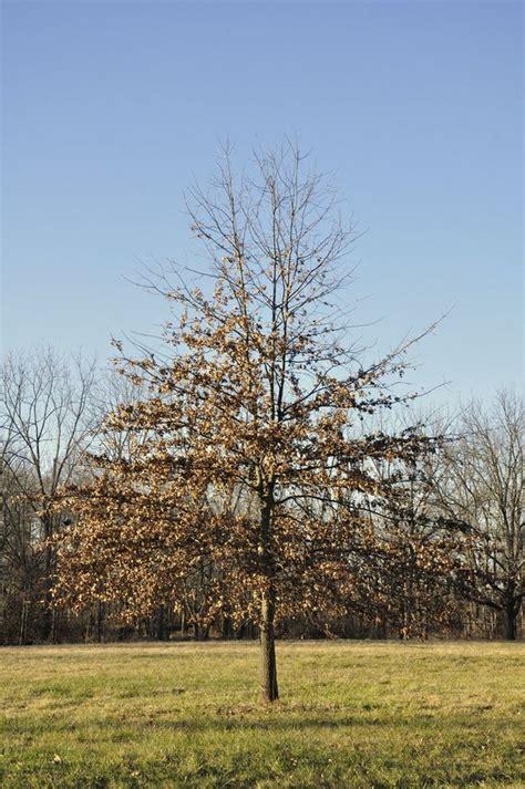 pondering  pin oak alcom