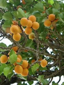 Taille De L Abricotier : abricotier prunus armeniaca le jardin du pic vert ~ Dode.kayakingforconservation.com Idées de Décoration