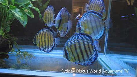 premium wild discus fish  salehd youtube