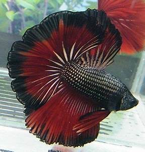 rose petal betta - Google Search | Fascinating Fish and ...