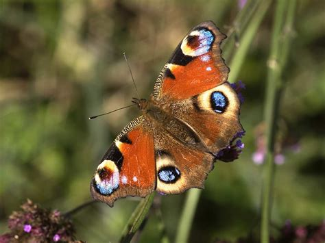 peacock butterfly identification life cycle saga