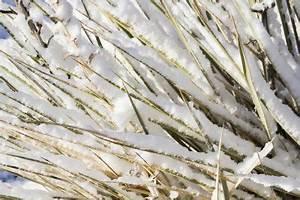 Welche Kräuter Sind Winterhart : welche palmlilien sind winterhart diese arten vertragen frost ~ Pilothousefishingboats.com Haus und Dekorationen