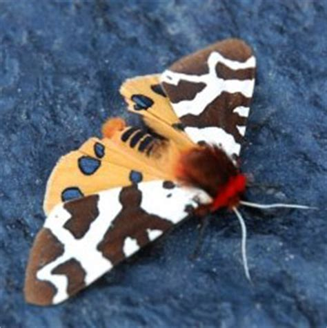 great tiger moth whats  bug