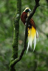 Lesser Bird of Paradise #1 (Paradisaea Minor) | Leo ...