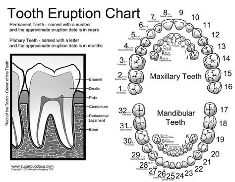 Tooth Diagram Chart by Printable Tooth Numbering Chart Tooth Numbering Chart For