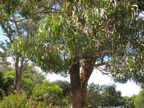 koa in hawaiian 28 best koa in hawaiian trees of maui uses stories banyan koa sandalwood koa wood koa