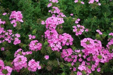 evergreen flowering shrubs for sun full sun flowering shrubs savingourboys info