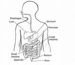 Template Of The Digestive System For Kids