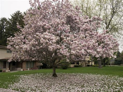 Jodi Mcfarland Magnolias In Michigan Are An Exercise In