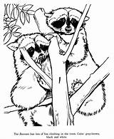 Raccoon Coloring Pages Racoon Animal Zoo Drawing Drawings Printable Sheets Animals Raccoons Tree Colouring Fern Grows Adult Adults Wild Nature sketch template