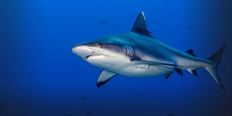 Shark Image Sharks National Geographic