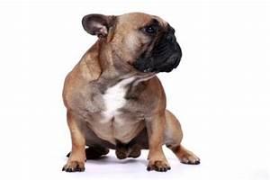 Hundebekleidung Französische Bulldogge : franz sische bulldogge wesen bilder und viele infos hunderassen f ~ Frokenaadalensverden.com Haus und Dekorationen