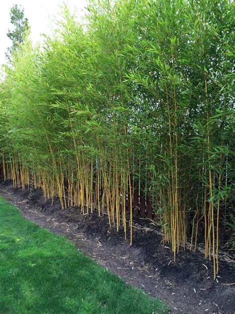 Sichtschutz Garten Bambus by Phyllostachys Aureosulcata Spectabilis Zone 5 Yard