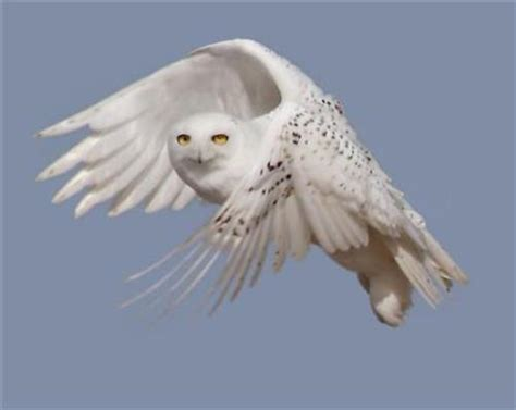 snowy owls flying south from arctic in a rare mass