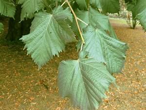 Linde Baum Steckbrief : sommerlinde tilia platyphyllos beschreibung steckbrief systematik ~ Orissabook.com Haus und Dekorationen