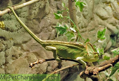 Behavior Of Veiled Chameleons  My Pet Chameleon. Explained Signs. Tumbler Signs Of Stroke. The Bible Signs. Airport Dubai Signs Of Stroke. 11 July Signs. Kidney Failure Signs. Vegetarian Signs. Retro Signs