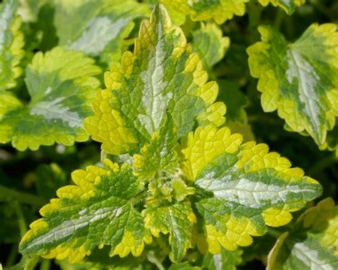 lamium greenaway gardensonline lamium maculatum