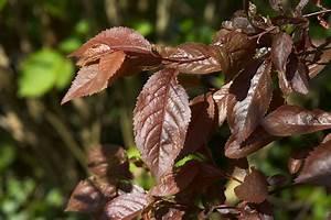 Baum Mit Roten Blättern : blutpflaume ~ Eleganceandgraceweddings.com Haus und Dekorationen
