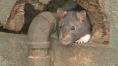 How To Get Rid Of Rats: DIY Tips & Contractor Cost