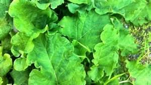 Pflanze Große Blätter : die gro e klette heilpflanze aus dem garten frag mutti ~ Avissmed.com Haus und Dekorationen