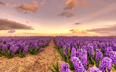 herunterladen hintergrundbild lila wildblumen hyazinthen