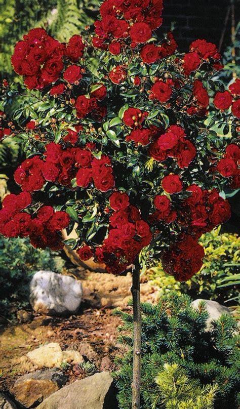 knockout rose tree  sale   tree center