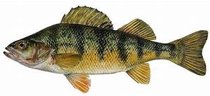 Yellow Perch: Species Information: Fisheries: Fish ...  Perch