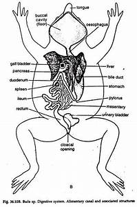Digestive System Of A Frog  Toad   With Diagram