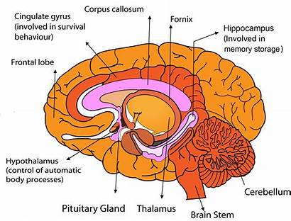 Brain Human Parts Anatomy Functions System Frontal