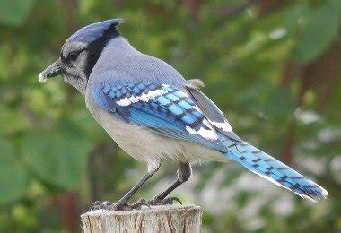 bluejay bird    eat    nest