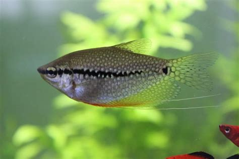freshwater fish   home aquarium fish