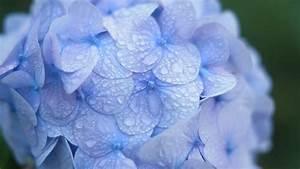 purple hydrangea flowers dew wallpapers hd desktop