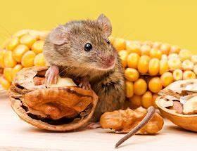 Mäuse Bekämpfen Haus : sie wollen ratten bek mpfen anleitung zur rattenbek mpfung ~ Michelbontemps.com Haus und Dekorationen