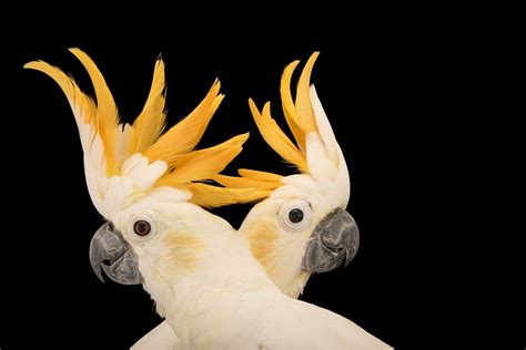 Photo Ark: Citron-Crested Cockatoo   National Geographic ...