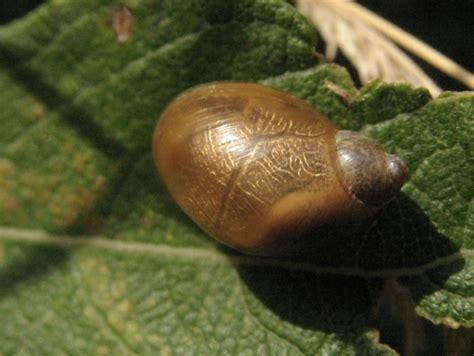 les escargots d eau douce