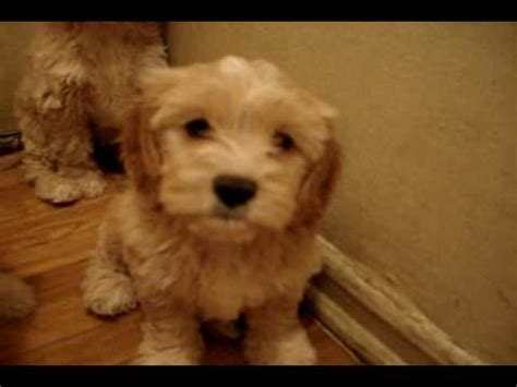 7 beautiful cockapoo puppies for christmas englewood nj