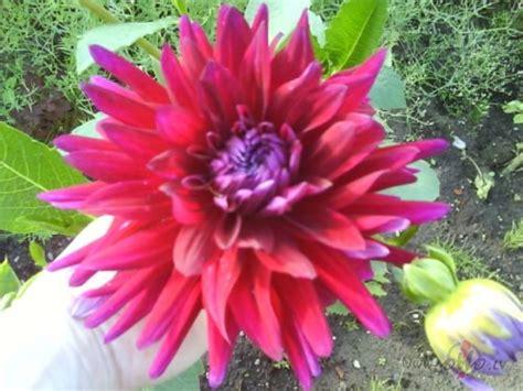 zied atkal dālijas..... | Ziedonī... | Foto.oHo.lv