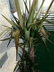 Yucca Palme Braune Blätter : yucca palme wird braun pflanzenkrankheiten sch dlinge ~ Lizthompson.info Haus und Dekorationen