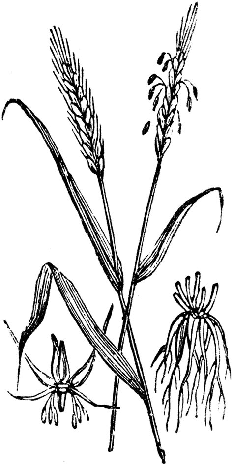 rye grain clipart