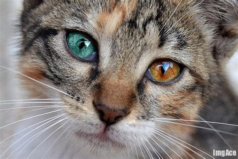 kitten eye color cats with two different eye colors amazingmaterial