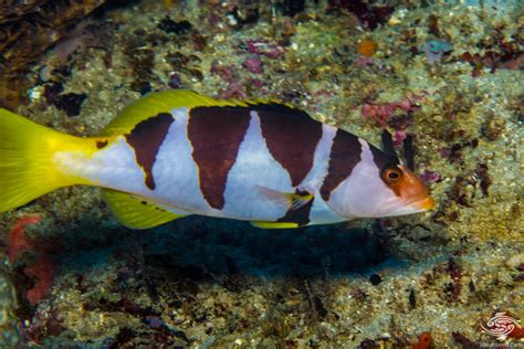 grouper coral saddled facts plectropomus laevis seaunseen photographs fish rare known he