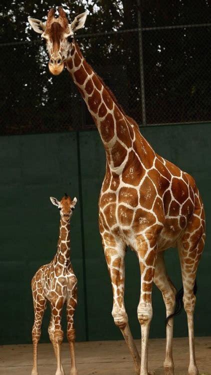 giraffe wallpaper tumblr