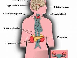 Skene Glands Diagram
