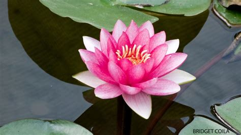 Dwelling in the Lotus Heart: A Meditation Practice