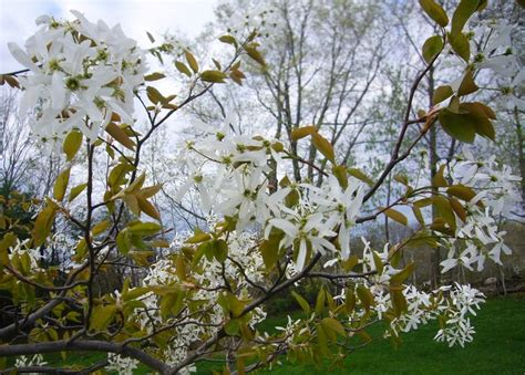 early blooming white flower tree early blooming plants portal mkrd info wiki