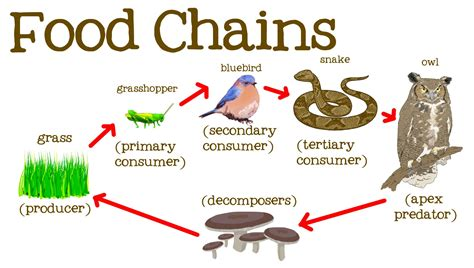 web cuisine food chains for food webs the circle of and