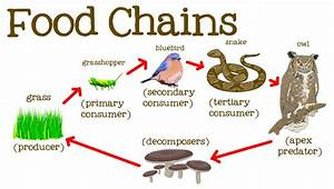 Food Chain  Trophic Levels And Flow Of Energy In Ecosystem