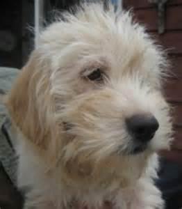 wheaten terrier poodle mix car interior design