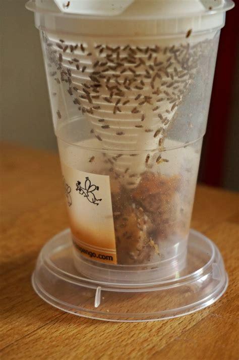 fruchtfliegenfalle selber machen ohne essig fruchtfliegenfalle selber machen der gute tipp